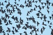 Flock Of Starling