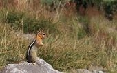 stock photo of chipmunks  - A chipmunk stands at attention while foraging for food at the base of Mount Hood - JPG