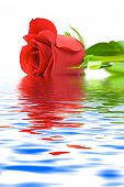 Rose in water isolated on white background