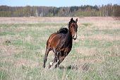 Bay Horse Galloping At The Field