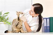 Veterinarian checks teeth cat breed Scottish Straight