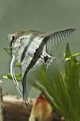 Água doce peixe anjo - Pterophyllum scalare