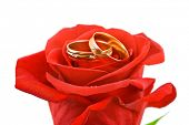 Rose and wedding rings isolated on white background