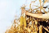 Corn Cobs In Male Hand