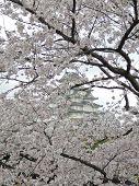 Sakura (cherry blossoms) in the background Himeji Castle