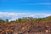 Trees over clouds at volcano Teide in Tenerife island - Canary Spain