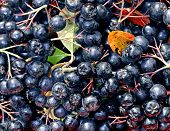 stock photo of chokeberry  - Background of berries of black chokeberry close up - JPG