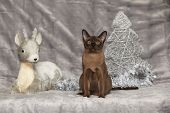 Amazing Burmese Cat In Front Of Christmas Decorations