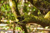 Tree like a hand at rainforest - La Gomera - Canary islands - Spain