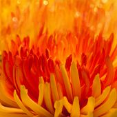 Macro Orange-red Flower