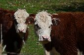 stock photo of hereford  - Two brown and white Hereford cows in a pasture - JPG