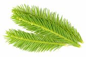 Bright Green Spruce Branches Isolated On White Background