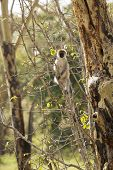 wild vervet monkey sitting in tree in Kenya