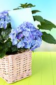 Hydrangea in basket on table close-up