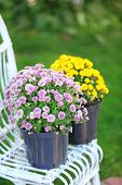 Yellow and lilac flowers in pots on wicker chair on garden background