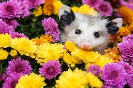 foto of opossum  - A Baby Opossum hiding in mums in the garden - JPG