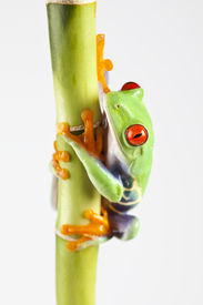 picture of red eye tree frog  - Macro of red eyed tree frog sitting on green bamboo - JPG