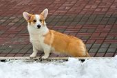 stock photo of corgi  - The Cardigan Welsh corgi is in the park - JPG