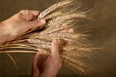 stock photo of inspection  - farmer inspect barley on the brown background - JPG