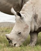 foto of blood drive  - A young White Rhinocores grazes on the grass near by his mother - JPG