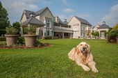 stock photo of manicured lawn  - Golden Retriever at Home lying relaxed in the beautiful big garden of the big mansion house where she lives.