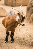foto of billy goat  - A Pygmy goat stands on her own in the goats enclosure - JPG