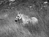 stock photo of reining  - White horse lying in the field with reins - JPG