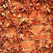 stock photo of climber plant  - Red brick wall background with dry withered ivy leaves plants - JPG