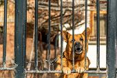 stock photo of shepherds  - german shepherd dog watchdog in house barks - JPG