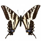 Papilio Eurymedon