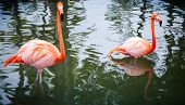 stock photo of pink flamingos  - Two pink flamingos walking in the water - JPG