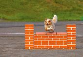 stock photo of shepherd dog  - Australian Shepherd jumping over the hurdle in agility competition an exiting dog sports event - JPG