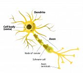 stock photo of neurotransmitter  - Neuron and Synapse Labeled Diagram - JPG