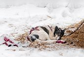 picture of sled-dog  - Sled Dog Sleeps in Snow and Hay  - JPG