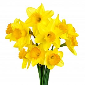 picture of daffodils  - Bright studio shot of a bunch of blossoming daffodils isolated on white background - JPG