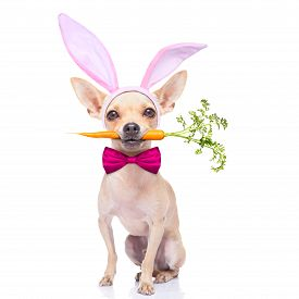 foto of bunny costume  - chihuahua dog with bunny easter ears and a pink tie with a carrot in mouth isolated on white background - JPG