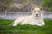 stock photo of lioness  - White lioness resting on the grass taken at the toronto zoo - JPG