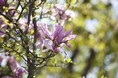 stock photo of magnolia  - Beautiful Pink Magnolia Flower Buds in Springtime - JPG