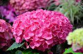 foto of chokers  - Beautiful pink hydrangea flowers in Palmen Garten Frankfurt am Main Hessen Germany - JPG