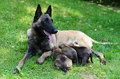 picture of belgian shepherd dogs  - female dog of belgian shepherds malinois with puppies - JPG