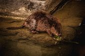 stock photo of beaver  - Cute swimming beaver in the murky lake water - JPG
