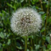 foto of dandelion seed  - Summer - JPG
