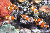 stock photo of clown fish  - Sea anemone and clown fish in marine aquarium - JPG
