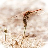 foto of dragonflies  - Detail of dragonfly resting on a dry plant - JPG