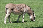 foto of burro  - Gray Donkey with nose to the ground in a small grass covered pasture - JPG