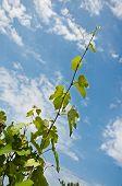 image of grape leaf  - Green grape leaves against the beautiful sky - JPG