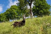 stock photo of italian alps  - In the picture a dairy goats grazing freely in the Italian alps Seriana Valley - JPG