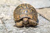stock photo of testudo  - Close up detailed front view of tortoise walking in the stone garden - JPG