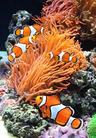 foto of clowns  - Sea anemone and clown fish in marine aquarium - JPG