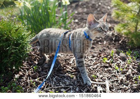 poster of Devon Rex cat is walking in the garden on a leash. Cat is walking outdoor. Adventure cat. Cat enjoying being in fresh air. The pleasure of fresh air and sunshine. Safety Tips. Train your cat walking